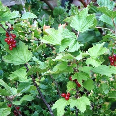 Berries rsz.jpg