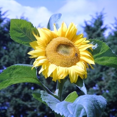 Sunflower rsz.jpg