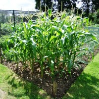 Maize rsz.jpg